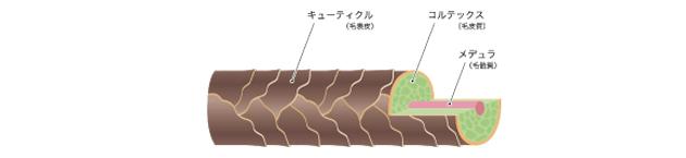 髪の毛を構成する3つの層を図化した画像