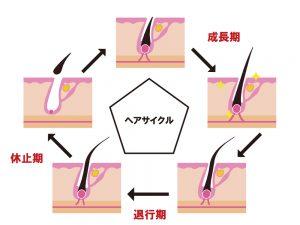 ヘアサイクルの一連の流れを図化した画像