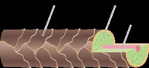 髪の毛を構成するメデュラ、コルテックス、キューティクルの3つの層を図化して説明した画像