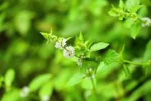 ハッカの花と葉のアップ画像