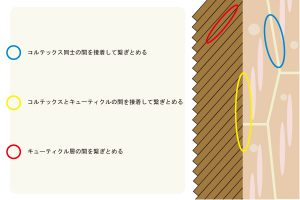 CMC(細胞膜複合体)を図化して説明した画像