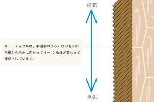 キューティクルについて図化して説明した画像
