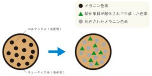 ヘアカラーの着色のメカニズムを図化して説明した画像