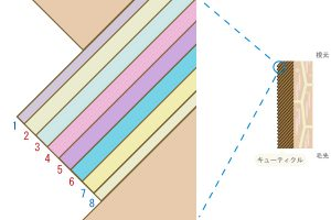 キューティクルの1枚1枚のを形成している層を図化した画像