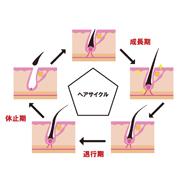 ヘアサイクルを図にして解説したイラスト