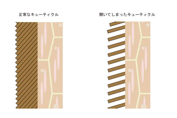髪の構造から紐解く髪がきしむ原因とその対策方法 | スカルプ ...