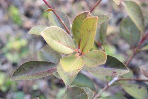 バンジロウの葉の画像